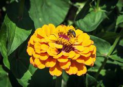 honey bee pollinates a yellow flower - stock photo