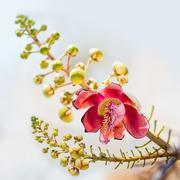 Couroupita flower Stock Photos