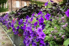 Flowerbed of purple flowers on a metal railing Stock Photos