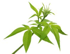 vitex negundo or medicinal nishinda leaves - stock photo
