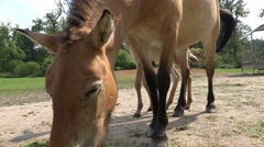 4k Low angle Przewalski-Horse with cute foal disturbed by flies Stock Footage