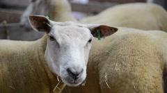 Sheared Sheep in farm HD - PULL FOCUS - stock footage
