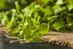 organic raw green cilantro - stock photo