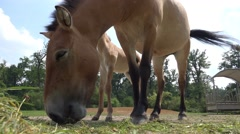 4k Przewalski-Horse with cute foal low angle eating hay Stock Footage