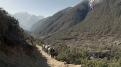 Yaks on trail rounding corner loaded down on Mt. Everest, Nepal. Full HD Stock Footage