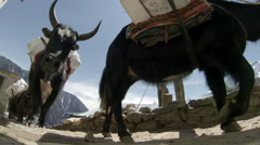 Yaks on trail rounding corner loaded down on Mt. Everest, Nepal. Full HD - stock footage