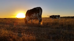 Texas Longhorn cattle farming sunset / sunrise landscape Stock Footage