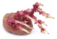 Potato germinating Stock Photos