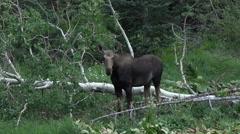 Wildlife Moose high Utah mountain meadow 4K 022 Stock Footage