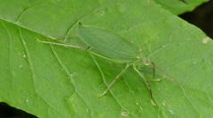 Common True Katydid (Pterophylla camellifolia) - Female 2 Stock Footage