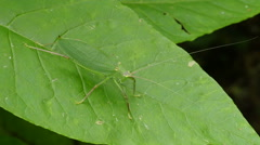 Common True Katydid (Pterophylla camellifolia) - Female 3 - stock footage