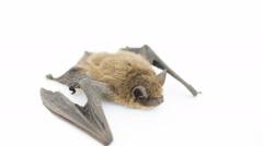 Bat on white Stock Footage
