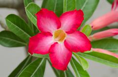 Red desert flower, adenium obesum Stock Photos