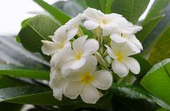 Plumeria , frangipani Stock Photos