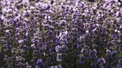 Stunning landscape with lavender field Stock Footage