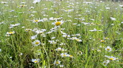 Camomile meadow, summer diversity. Stock Footage