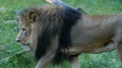 Lion, African, Cat, King, Walk, Prowl, 4K, UHD - stock footage
