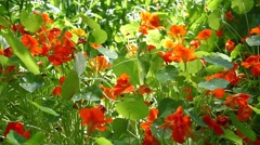 Glare of the sun is a beautiful flower bed with blooming orange nasturtiums Stock Footage