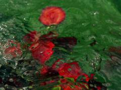 Fruits falling into water, closeup, slow motion shot at 240fps Stock Footage