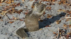 Squirrel Eats Bread On Beach Sand Stock Footage
