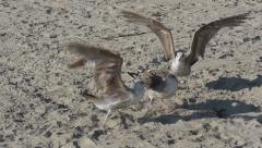 Seagulls Fight For Food Slow Motion Stock Footage