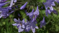 Bee Slow Motion On Agapanthus Flower Stock Footage