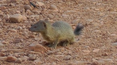 Banded Mongoose walking towards camera Stock Footage