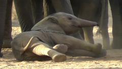 Close-up of an elephant calf lying on the ground, rolling around Stock Footage