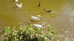 Duck in the lagoon - stock footage