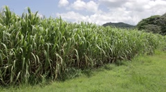 Sugar Cane Field in the Dominican Republic Stock Footage