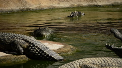 Crocodile in water Stock Footage