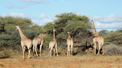 Giraffes feeding on Acacia trees, African wildlife safari, South Africa Stock Footage