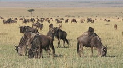Blue wildebeest  grazing on grassland, Masai Mara National Reserve, Kenya Stock Footage