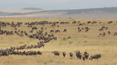 Migratory blue wildebeest, African safari, Masai Mara National Reserve, Kenya Stock Footage