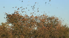 Red-billed queleas (Quelea quelea) gathering in a tree, South Africa Stock Footage