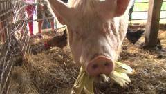 Farm Pig Eating Corn Stock Footage