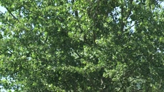 Deciduous tree in summer breeze - full screen Stock Footage