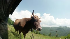 Cow, sky, clouds, mountains and wooden house Stock Footage
