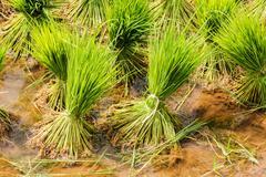 Harvesting rice Stock Photos