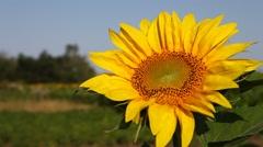 Sun flower fields Stock Footage