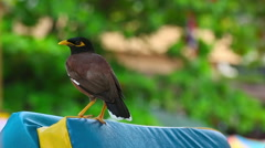 Common Myna (Acridotheres tristis), Thailand Stock Footage