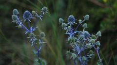 Eryngium planum, sinegolovnik, in the foothills of the Bauanaul mountains Stock Footage