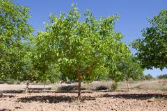 Walnut tree Stock Photos