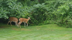 White-tailed Deer (Odocoileus virginianus) Feeding 1 - stock footage