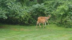 4K White-tailed Deer (Odocoileus virginianus) Feeding 2 - stock footage