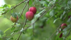 Plum fruit tree on a windy day Stock Footage