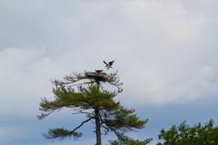 Osprey Landing in Nest - stock photo