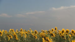 Beautiful sunflower field, in the evening, with cloudy sky.  Stock Footage