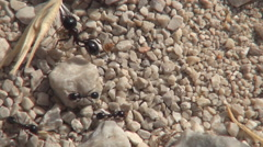 Ants family at work. Ant hill. Wild nature and animals.. Stock Footage