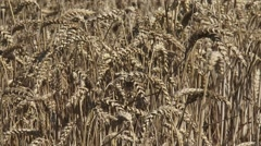 Ripe cornfield - full screen Common wheat (triticum aestivum) Stock Footage